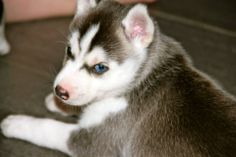 Beautiful Grey Wind from Snykovet Siberian Husky Kennel: http://snykovet.blogspot.com.