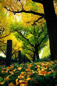 Autumn in Tokyo / Ginkgo tree at Meiji Jingu Gaien >>> I've been seeing so many beautiful photos of Japan lately! Beautiful World, Beautiful Places, Beautiful Pictures, Phoenix Legend, All Nature, Tree Forest, Mellow Yellow, Beautiful Landscapes, Wonders Of The World