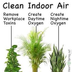 Even NASA has studied the incredible purifying effect that plants have on indoor air. These are some of the best houseplants that improve indoor air quality - Modern Indoor Plants Clean Air, Best Indoor Plants, Air Plants, Garden Plants, House Plants Air Purifying, Indoor House Plants, Indoor Ivy, Air Filtering Plants, Inside Plants