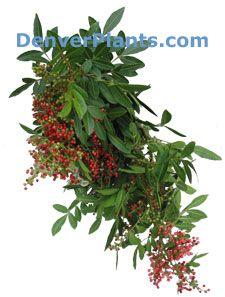 Hanging red pepperberry: September through February  $