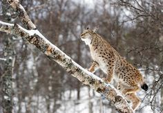 Eurasian Lynx found in European  Siberian  also in chilly regions of South  East Asia forests.