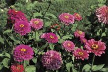 Top 10 Flowers to Attract Hummingbirds: Zinnia