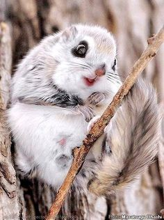 12 animali che non conoscete - MONDO ANIMALE - Russian flying squirrel
