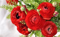 Télécharger fonds d'écran Renoncules, des fleurs rouges, renoncule d'Asie, bouquet de fleurs rouges