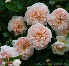 ~Rambing rose 'Paul Noel'