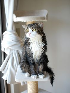 Maru shampooed.
