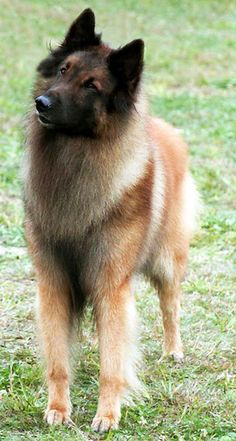 Belgian Tervuren. I usually adopt animals, but this is a breed that I would pay for. I want one sooo bad.