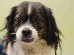 TO BE DESTROYED 02/25/15 Manhattan Center  My name is DANIEL. My Animal ID # is A1028262. I am a male br brindle and white cavalier span mix. The shelter thinks I am about 9 YEARS old.  I came in the shelter as a STRAY on 02/18/2015 from NY 10029, owner surrender reason stated was STRAY.