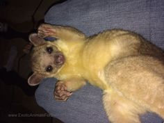 ♥ 6 month old kinkajou for sale. Super sweet and very playful. She loves people and will come when called. Asking for $2000. I just don't have the time to spend with her.