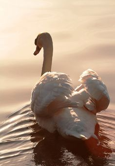 A beautiful swan. The largest known male trumpeter swan had a wingspan of just over 10 feet! Swan Love, Beautiful Swan, Beautiful Birds, Life Is Beautiful, Animals Beautiful, Cute Animals, Beautiful Morning, Swans, Tier Fotos
