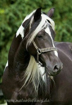 Such a lovely pinto, soft expression, gentle eye. Most Beautiful Animals, Beautiful Horses, Beautiful Creatures, Horse Photos, Horse Pictures, Horses And Dogs, Animals And Pets, Cheval Pie, Majestic Horse