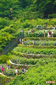 除了賞看繡球花,大梯田生態農園的梯田景觀也別具特色。