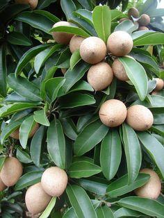 chiku fruit tree - Google'da Ara
