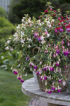 #Fuchsia #tabletop #flowers #allsummer #garden #plants