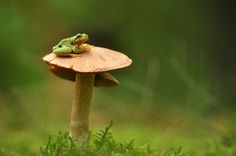 frog resting on a mushroom