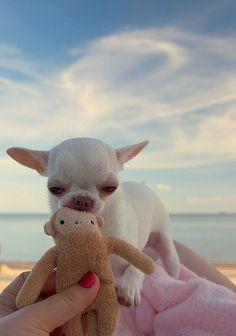<3 Chihuahua