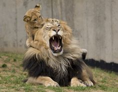 Ada and me as lions.. She has discovered that when you pull hair, whoever is attached will make funny noises.