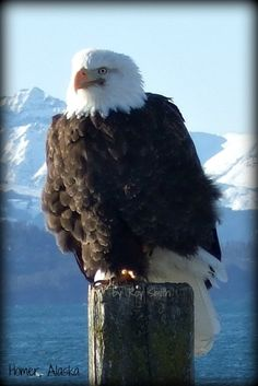 Eagle in Homer, Alaska. by Roy Smith Beautiful Birds, Animals Beautiful, Homer Alaska, Alaska The Last Frontier, Alaska Adventures, Fishing Guide, All Gods Creatures, Birds Of Prey, Bird Watching