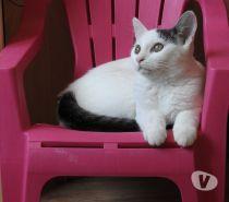 Votre cNom : Maïa Type/Race : Européen (Non LOOF) Âge : née le 01/02/2016 Sexe : Femelle Histoire : Jetée du balcon par son propriétaire. Caractère/Description : Elle est très joueuse et très curieuse. Maïa aime bien dormir sur sa FA. Elle est hyper sociable et pas craintive du tout. Elle s'est tout de suite adaptée aux autres chats de sa FA. Ok Enfants : OUI Ok Chiens : OUI Ok Chats : OUI FA : Loos Frais d'adoption : 100 euros testée identifiée stériliséeompte: annonces, messages, alertes…