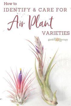 What Kind of Tillandsia do I Have? Identify and Care for Common Air Plant Varieties. There are a great many air plant varieties out there, and this guide will give you an introduction to some common ones as well as some bonus info on each one. #gardentherapy #airplants #tillandsia
