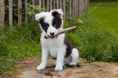 Border Collie pupper from johnny's blog. #bordercollie