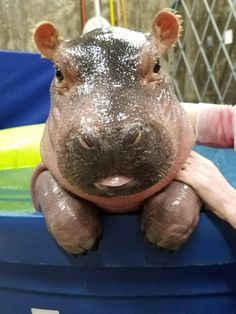 Fiona, a preemie born at the Cincinnati zoo in January 2017.  She's growing & learning each day. I love following her story.