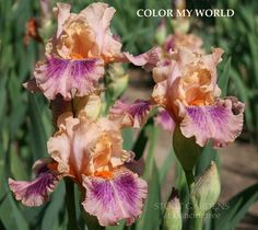 IRIS COLOR MY WORLD | Stout Gardens at Dancingtree