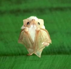 "Tiny White Bat Disapproves of Your Shenanigans | ""There are plenty of bats at Tiskita but the special one is this white bat. Based on my research, I think he's called a Northern Ghost Bat. They called him El Blanco at the lodge. He had favorite cabins where he stayed during the day."" photo by Jon"