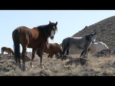 Produced by the Bureau of Land Management, this video helps us better understand how the BLM came to manage federally protected wild horses and burros on millions of acres of public lands across the West. Current and former BLM employees, historians, horse advocates, and others tell their parts of this continuing story.