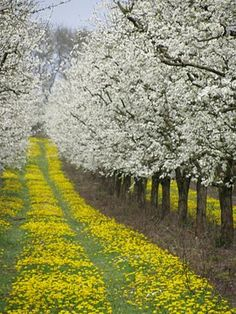 allee of white flowering trees with dandelions