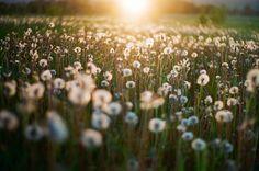 sunrise pissenlit champ field flowers