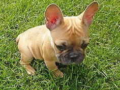 Baby Frenchie. I've always wanted one of these bat eared little beauties :)