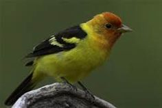western tanager - Bing Images
