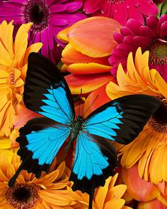 Blue butterfly on brightly colored flowers Metal Print by Garry Gay. All metal prints are professionally printed, packaged, and shipped within 3 - 4 business days and delivered ready-to-hang on your wall. Choose from multiple sizes and mounting options. Flowers Wallpaper, Butterfly Wallpaper, Blue Butterfly, Butterfly Flowers, Flowers Garden, Colorful Flowers, Hd Wallpaper, Wallpapers, Art Floral