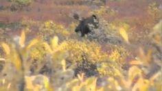 Pioneer Outfitters - YouTube  Hunt of a Lifetime Hunt  Alaska-Yukon Moose