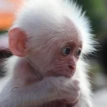 Baby albino monkey