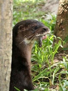 Sumatran Otter or Hairy Nosed Otter  This otter is so rare that it was actually thought to be extinct in 1998 because there had been no sightings of it for so long. In 2005 it was rediscovered and since they have found few tiny populations of the Sumatran Otter.