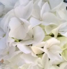 First Time, Bloom, Hydrangeas, Rose, Garden, Flowers, Plants, Pink, Garten