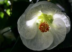 Pure white Abutilon throws out light from the shade.