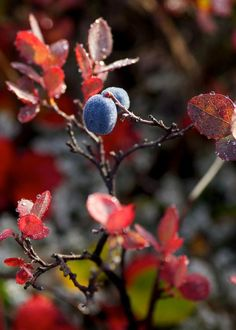 Blueberries at Denali