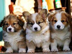Corgi Puppies - Aww