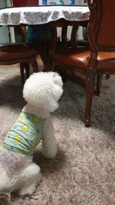 Bichon Dog, Bichon Frise, Cortes Poodle, Le Terrier, Bichons, True Love, Cute Puppies, Gymnastics, Cute Pictures