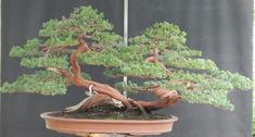 Another Immense Bonsai | Bonsai Bark
