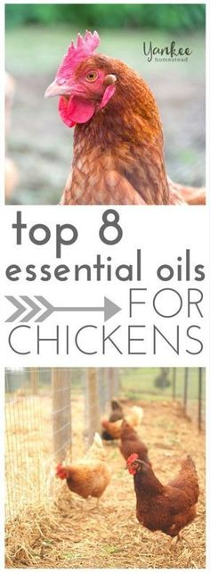 Top 8 Essential Oils for Chickens - Yankee Homestead Portable Chicken Coop, Best Chicken Coop, Chicken Coops, Chicken Houses, Chicken Breeds, Chicken Life, City Chicken, Chicken Story, Chicken Facts