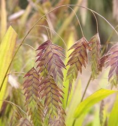 Plant Focus: Northern sea oats - Michigan Gardener Chasmanthium latifolium Northern Sea Oats Dangling, oat-like spikelets droop from rich, bamboo-like foliage. Useful as a formal accent, in mass plantings, or even as a container plant. Moist soil.