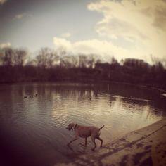 Into the pond I go! - King's Mill Park - Toronto, ON - Angus Off-Leash #dogs #puppies #cutedogs #dogparks #toronto #ontario #angusoffleash