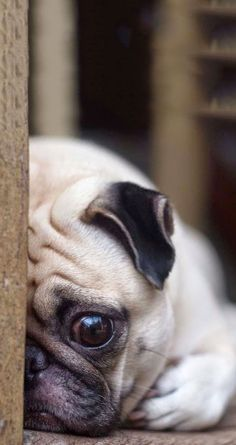 ↑↑TAP AND GET THE FREE APP! Animals Dog Pets Cute Sad Pug Beige HD iPhone 5 Wallpaper