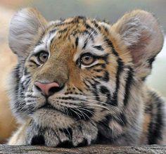 # beautiful kitty # @ planète tigre #