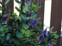 Hebe Autumn Glory, shrub, sun-part shade, 2'x2', dark evergreen foilage with burgundy stems, purple flower spikes in May/Sept