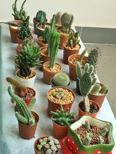 Succulent Gardening, Cacti And Succulents, Planting Succulents, Cactus Plants, Planting Flowers, House Plants Decor, Cactus Decor, Plant Decor, Tiny Cactus